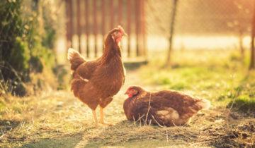 Die Eierindustrie: zurück zum Ursprung?